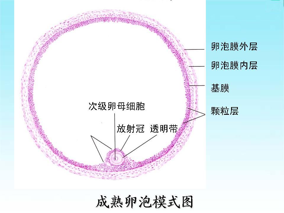 次级卵泡的结构图