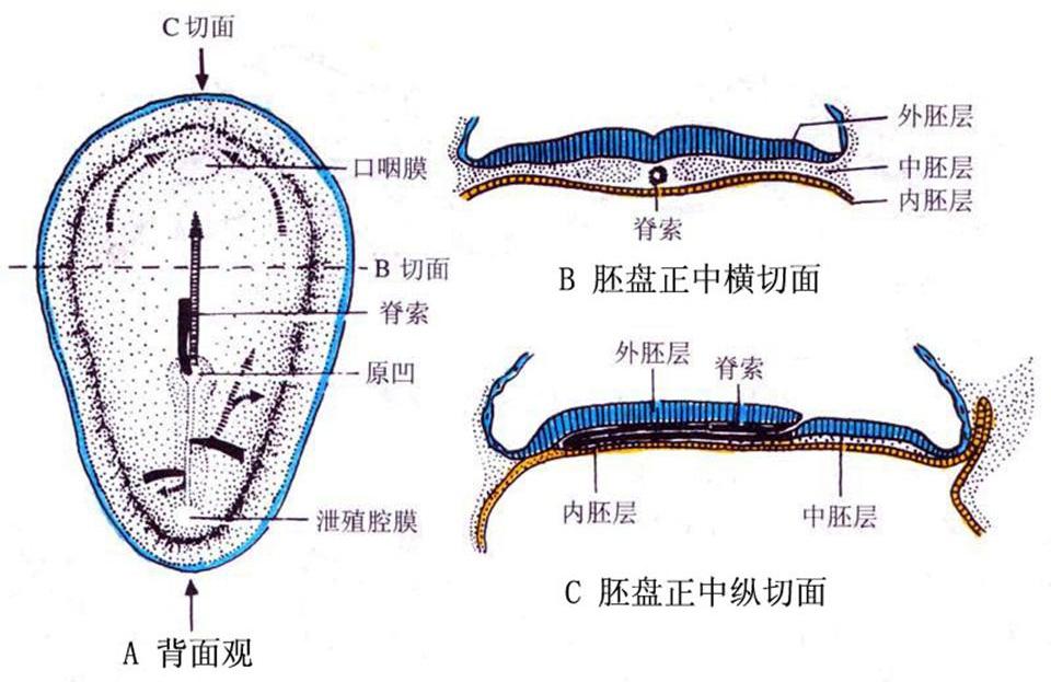脊索动物的共同特征