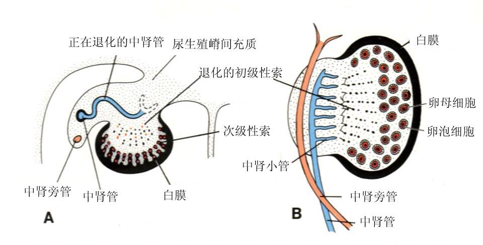 泌尿系统和生殖系统的发生;
