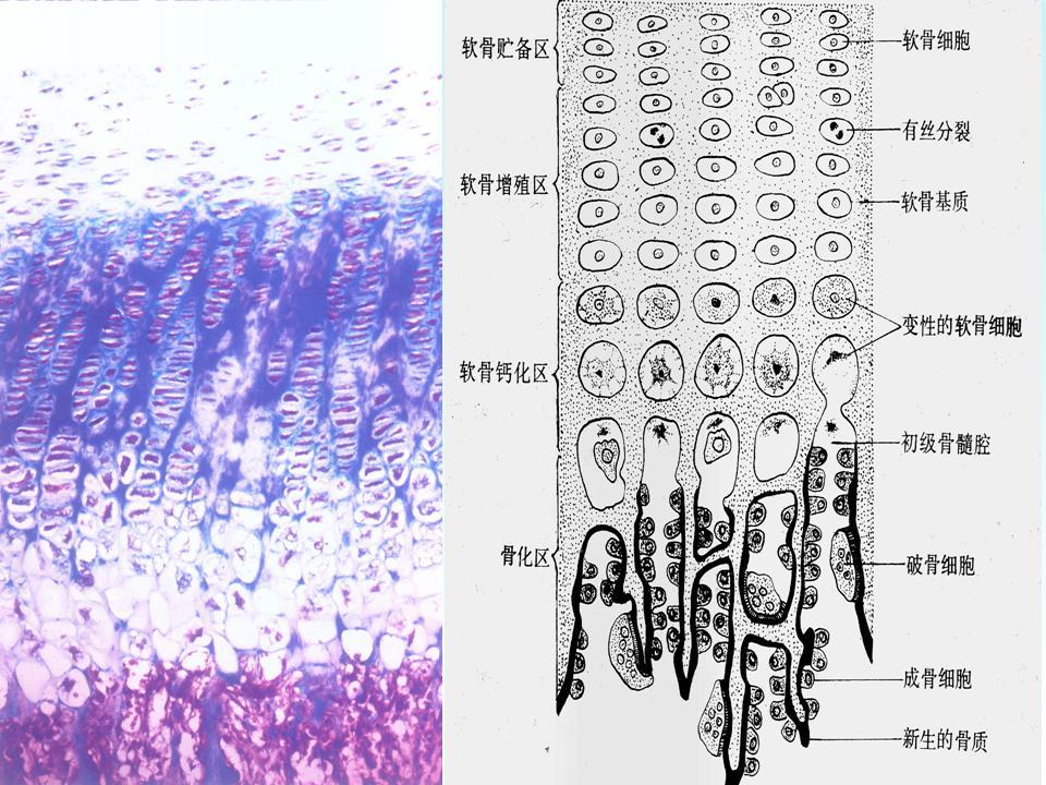 人体躯干骨结构图图片大全 人体共有多少块骨头高清图片