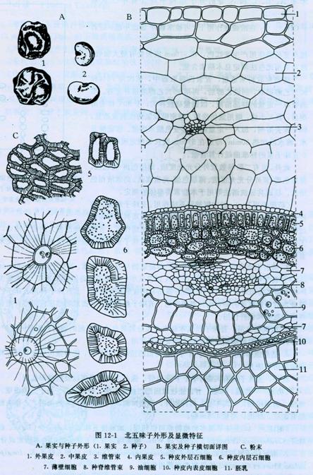 糊粉粒手绘图