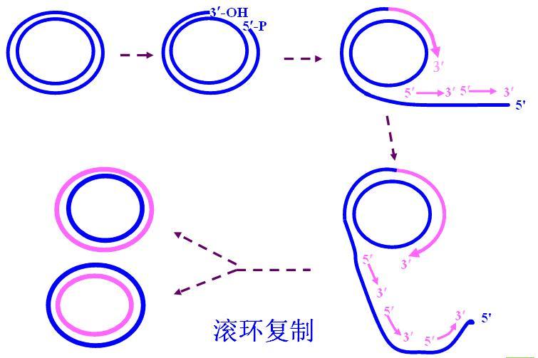 dapi染色步骤 活细胞