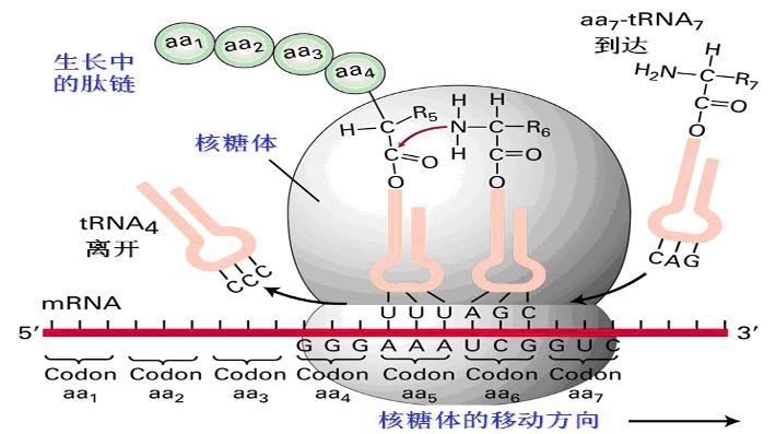 蛋白质生物合成的翻译图片 - 海南四眼斑龟教学博客 - 海南四眼斑龟教学博客的博客