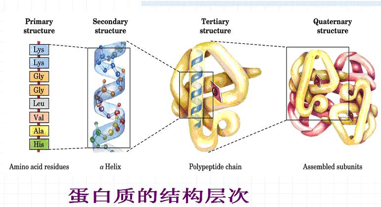 蛋白质的结构与功能(十五)