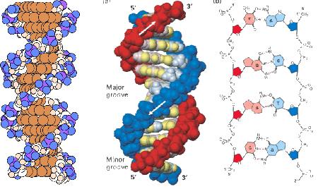 dna双螺旋结构模型