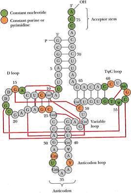 转运rna的结构与功能